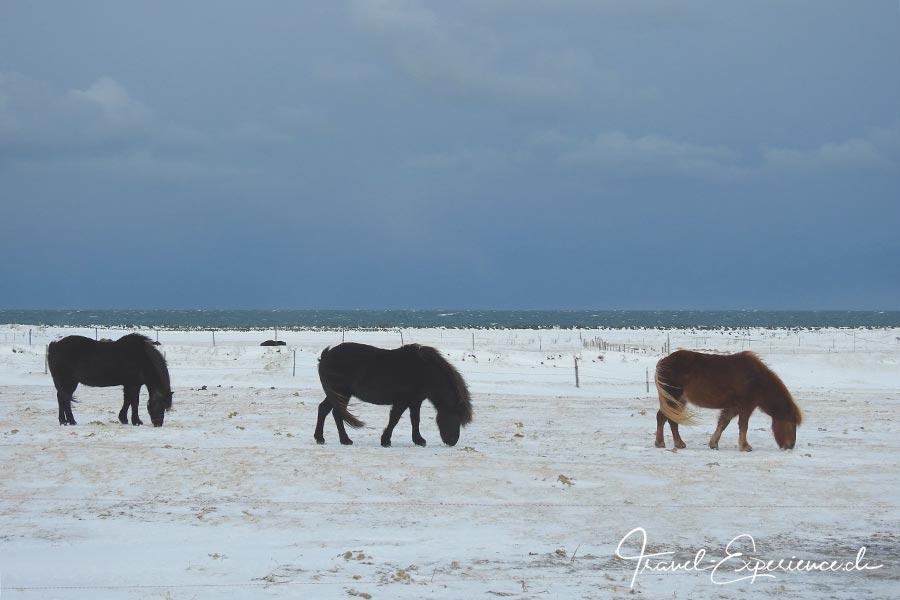 Island, Iceland, Winter, Gardur, Islandpferde,