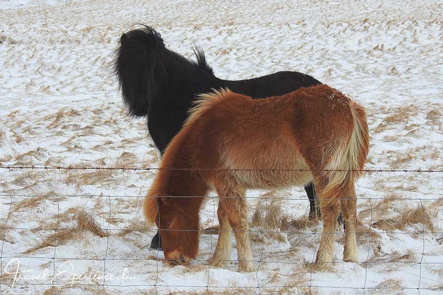 Island, Iceland, Winter, Hvalfjoerdur, Islandpferde,
