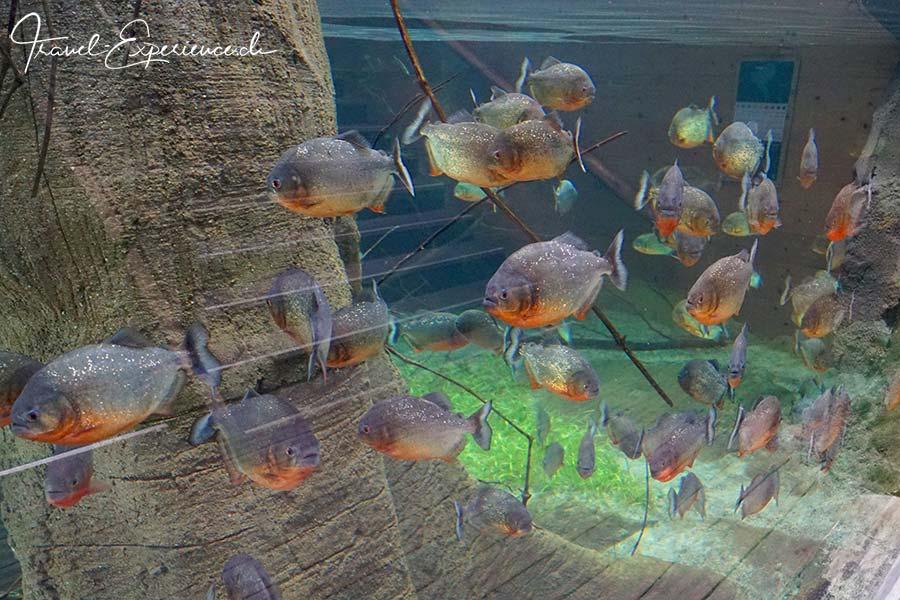 Schweiz, Lausanne, Aquatis, Aquarium, Vivarium, Suedamerika, Piranjas