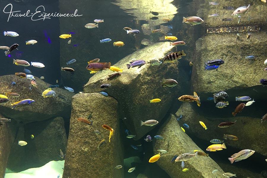 Schweiz, Lausanne, Aquatis, Aquarium, Vivarium, Afrika, Malawisee