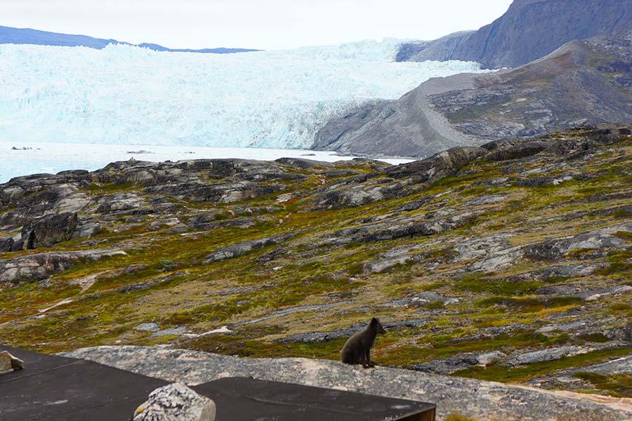 Groenland, EqiCamp, Polarfuchs
