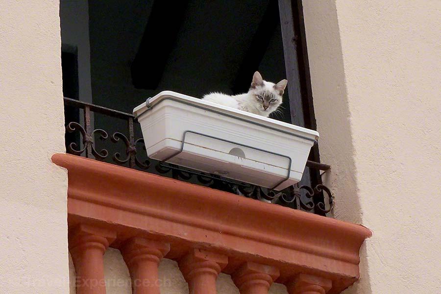 Ibiza, Katze im Blumentrog