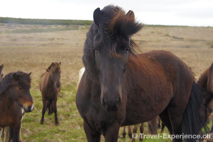 Island, Islandpferde, reiten