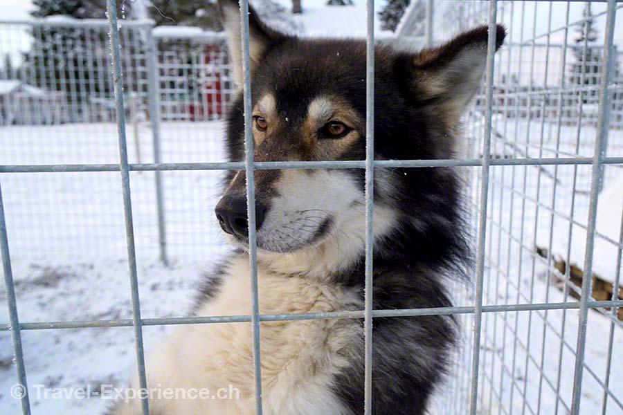 Finnland, Lappland, Ruka, Kuusamo, Erae Susi, Husky, Farm,