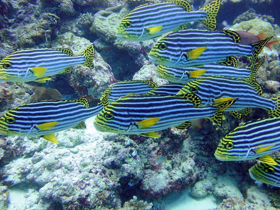 Malediven, Suedariatoll, Lily Beach, Tauchen, Suesslippen