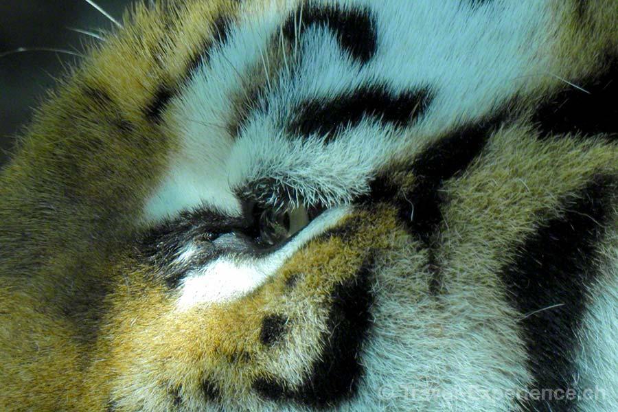 Nikon P900 Kameratest, Zoo Zürich, Tiger