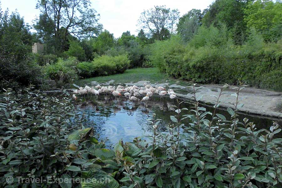 Nikon P900 Kameratest, Zoo Zürich, Flamingos