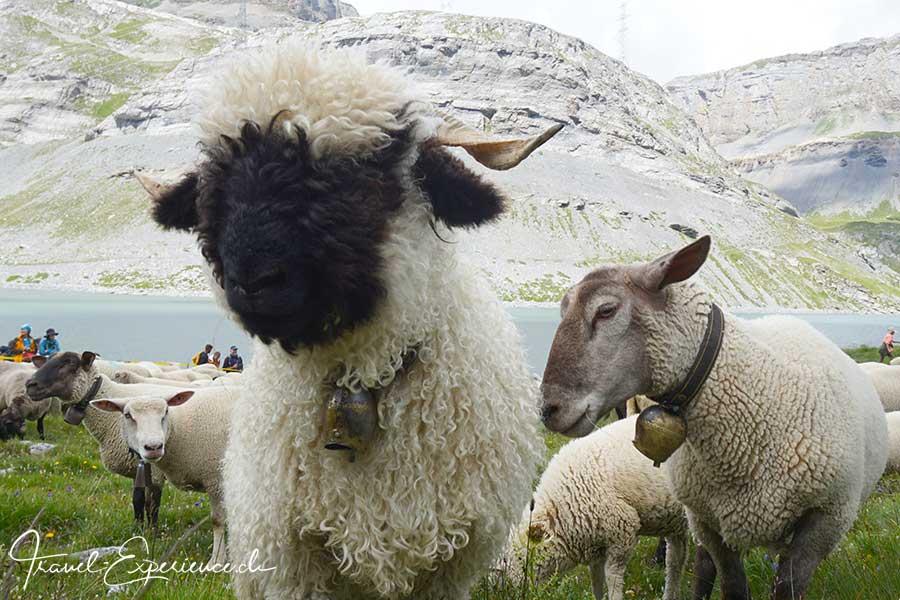 Schweiz, wallis, leukerbad, gemmi, schaeferfest, schwarznasenschaf, walliser landschaf