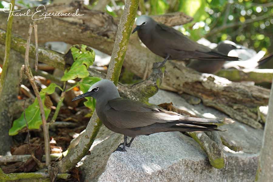Seychellen, Sea Star, Aride, Vogelinsel, Brown Noddy
