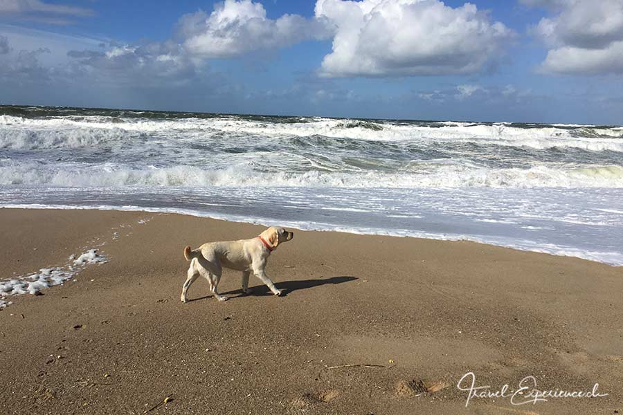 Deutschland, Sylt, Strand beim roten Kliff, Hund, Labrador