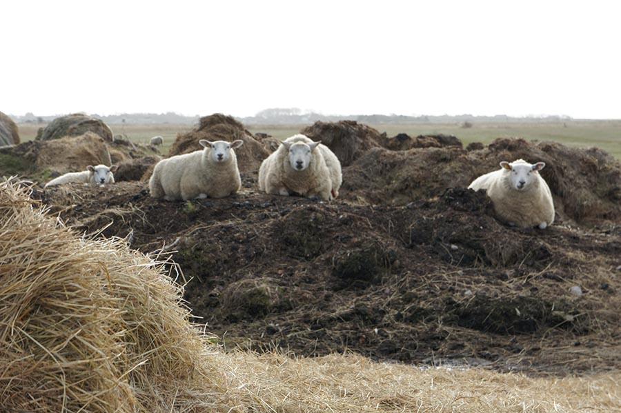 Sylt, Schafe