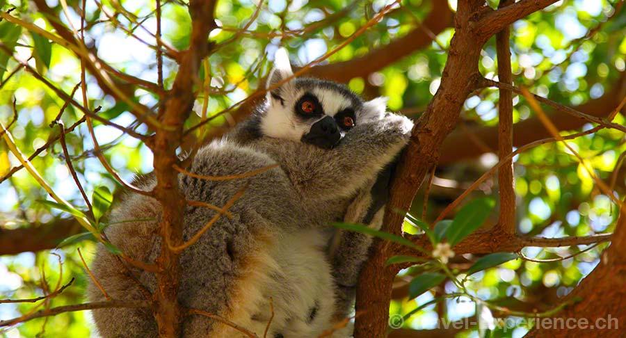 Valencia, Bioparc, Lemur