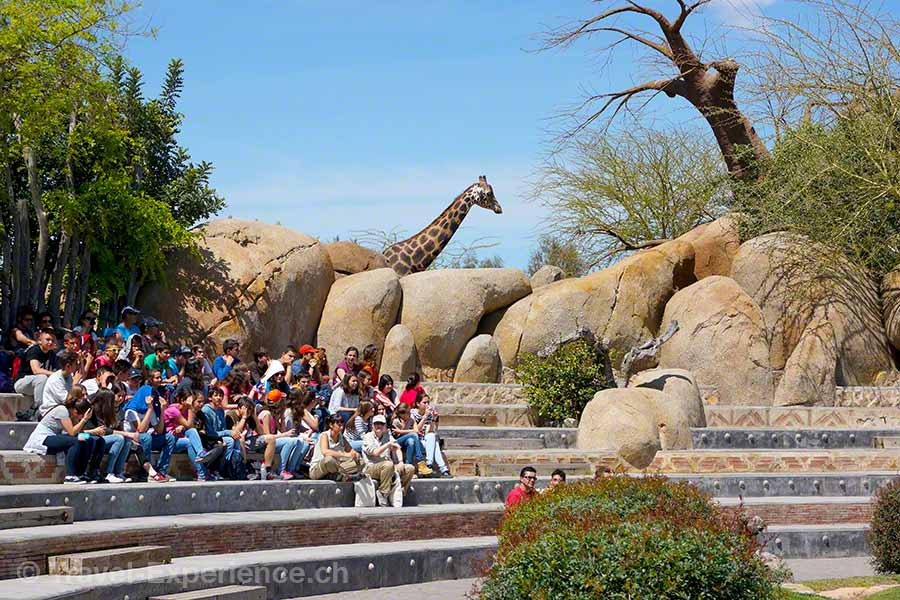 Valencia, Bioparc, Show, Giraffe