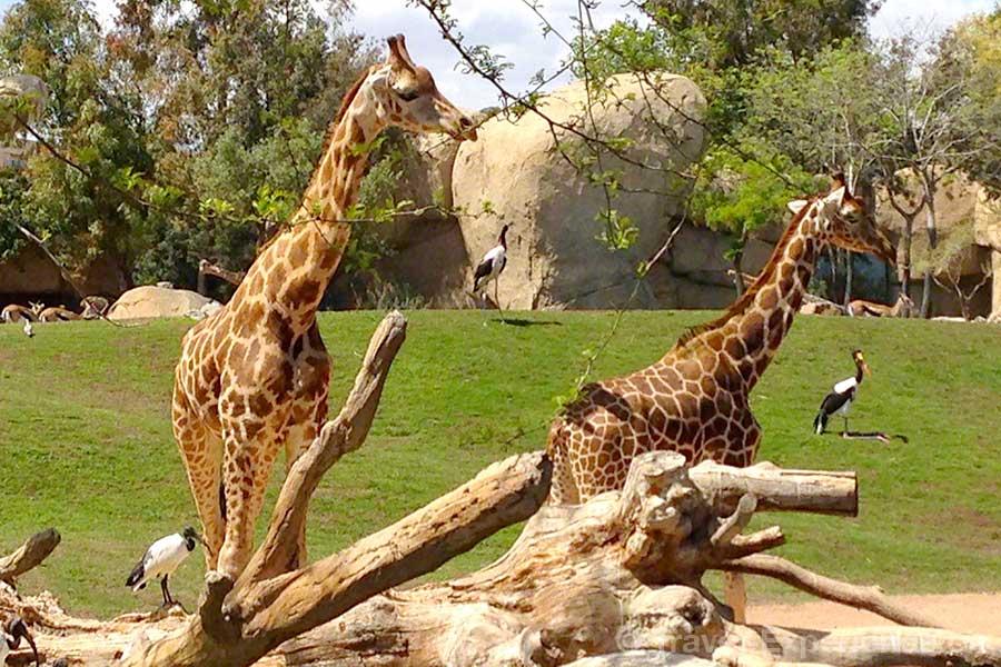 Valencia, Bioparc, Giraffen