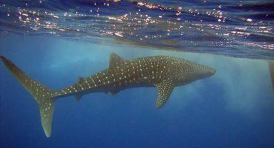 Tauchen: Die beste Walhai-Zeit ist immer 22