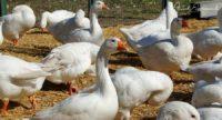 Burgenland: Gans glücklich 6