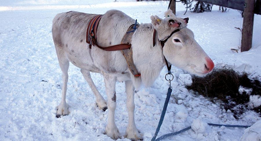 Lappland: So pudert man sich einen «Rudolph» 2