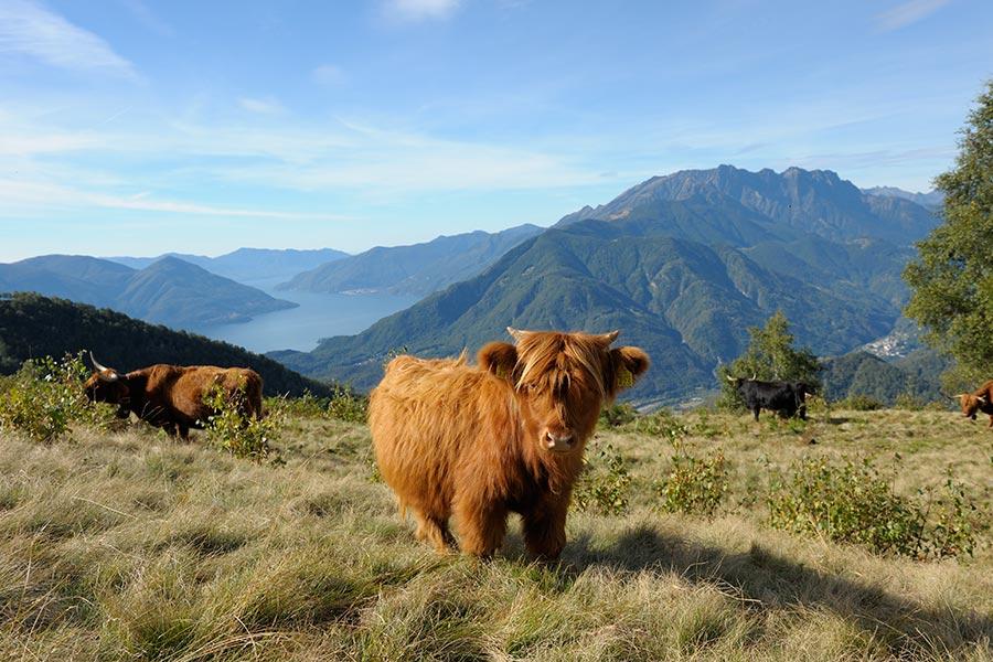 Tessin: Zu Besuch bei Betsy auf der Alp 6
