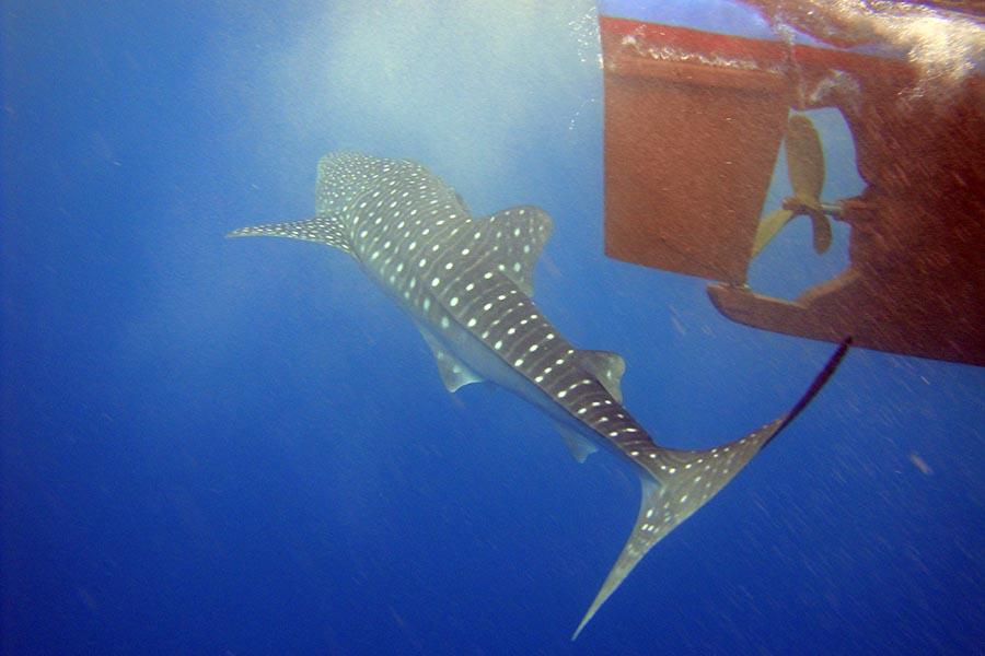 Walhai, Schiffsschraube