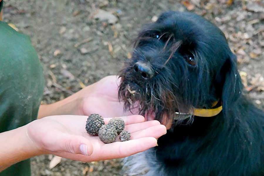 trueffelhund blacky