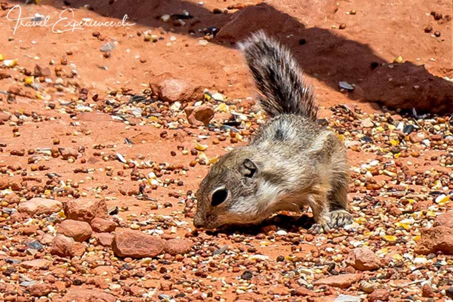 Ground squirrel, Valley of Fire, Nevada