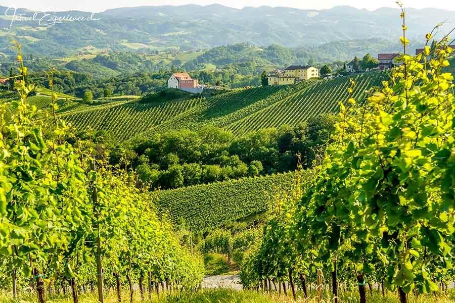 Weingarten im Süden der Steiermark